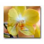 Yellow Orchid 2 by William Clay